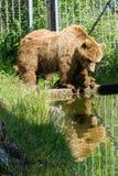 Медведи с отражением Стоковое Изображение