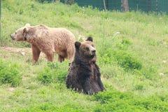 медведи 2 Стоковые Фото