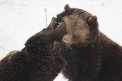 медведи 2 Стоковое Фото