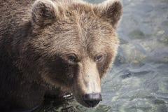 медведь большой Стоковое Изображение