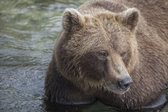 медведь большой Стоковые Изображения