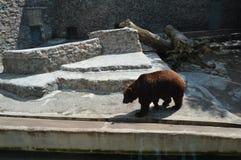 Медведь Брайна в зверинце Стоковая Фотография RF