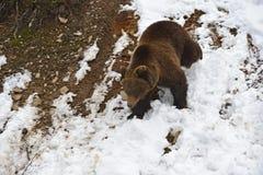 Медведь Брайна Стоковые Фото
