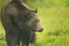 Медведь Брайна Стоковое Изображение RF