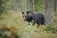 Медведь Брайна Стоковая Фотография RF