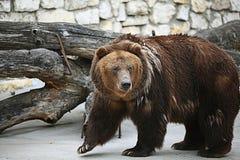 Медведь Брайна Стоковая Фотография