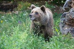 Медведь Брайна стоковое изображение