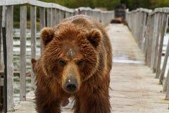 Медведь Брайна Стоковое фото RF