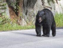 Медведь Брайна Стоковые Изображения RF