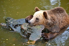 Медведь Брайна Стоковые Фотографии RF