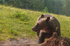 Медведь Брайна Стоковые Изображения