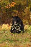 Медведь взрослой женщины черный (Ursus americanus) грызет на отрубях Berried стоковые фотографии rf