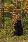 Медведь взрослой женщины черный (Ursus americanus) жует на ветви стоковые фотографии rf