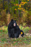 Медведь взрослой женщины черный (Ursus americanus) сидит смотреть прав стоковое фото rf