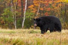 Медведь взрослой женщины черный (Ursus americanus) смотрит назад стоковые фото