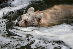 Медведь в воде Стоковые Изображения RF