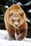Медведь в лесе зимы Стоковые Фотографии RF