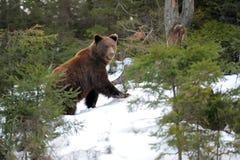 Медведь в зиме Стоковые Изображения RF