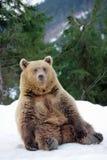 Медведь в зиме Стоковые Фото