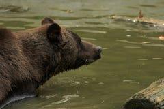 Медведь в конце-Вверх воды Стоковое фото RF