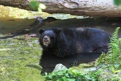 Медведь в реке Стоковое Изображение