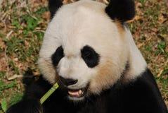 Медведь гигантской панды жуя на зеленых бамбуковых всходах Стоковое Фото