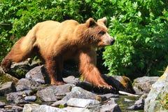 Медведь гризли Аляски Брайна на движении Стоковые Изображения