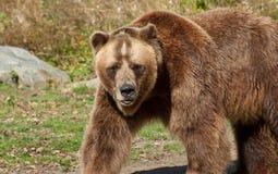 Медведь гризли Стоковые Фотографии RF