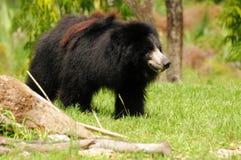 Медведь (ursinus Melursus) Стоковые Фотографии RF