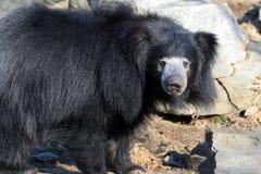 Медведь лени Стоковые Фото