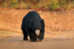 Медведь лени, ursinus Melursus, национальный парк Ranthambore, Индия Одичалый медведь лени вытаращить сразу на камере, фото живой Стоковые Фото