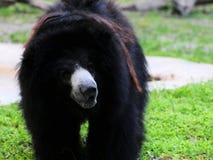 Медведь лени (ursinus Melursus) Стоковое Фото