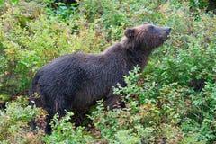 Медведь звероловства ягоды Стоковое Изображение RF