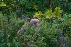 Медведь звероловства ягоды Стоковые Изображения RF
