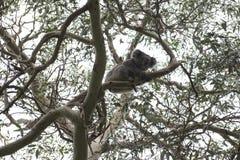 Медведь коалы, Австралия Стоковые Фотографии RF