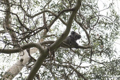 Медведь коалы, Австралия Стоковое Изображение