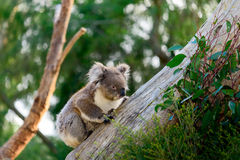 Медведь коалы взбираясь вверх дерево Стоковое фото RF