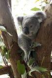 Медведь коалы в дереве Стоковые Изображения