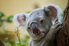 Медведь коалы в лесе Стоковое фото RF
