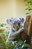 Медведь коалы в лесе Стоковые Изображения RF