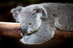 Медведь коалы держа дальше к ветви с черной предпосылкой Стоковые Изображения RF