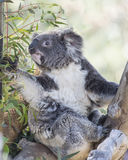 Медведь коалы и дерево евкалипта Стоковое Изображение RF
