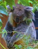 Медведь коалы младенца спать Стоковое Изображение RF