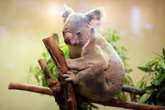 Медведь коалы младенца Стоковые Изображения RF