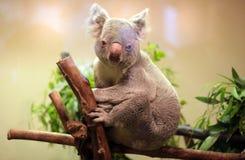 Медведь коалы младенца Стоковые Изображения