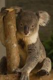 Медведь коалы на ветви Стоковые Фотографии RF