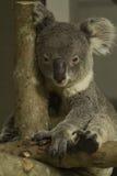 Медведь коалы на ветви Стоковые Изображения