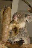 Медведь коалы на ветви Стоковая Фотография
