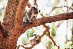 Медведь коалы на дереве Стоковая Фотография RF