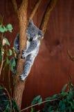 Медведь коалы на дереве Стоковое фото RF